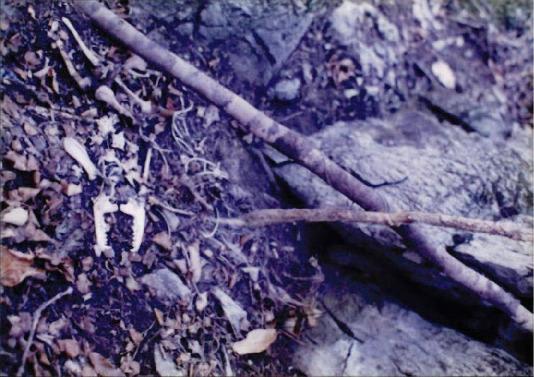 1998 강원 올무제거 7 - 덫에 걸린 채 죽어간 오소리나 너구리과 잔해들
