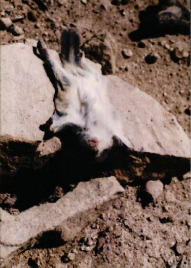 1998 강원 올무제거 1 - 설악 구간에서 죽은채로 발견된 천연기념물 - 하늘다람쥐